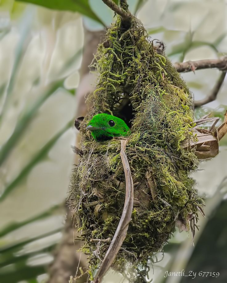 https://flic.kr/p/F135AD | Whitehead's Broadbill 黑喉绿阔嘴鸟 | 地点:马来西亚 沙巴州 京那巴鲁公园 Location : Kinabalu Park, Sabah State, Malaysia