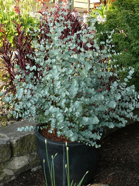 Buy cider gum Eucalyptus gunnii 'Azura = ('Cagire') (PBR)': Delivery by Crocus.co.uk