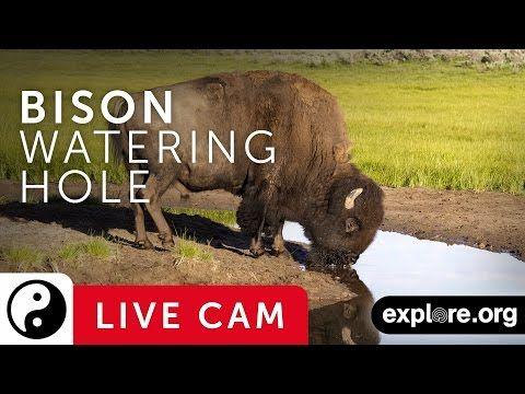 Bison Cam - Watering Hole at Grasslands National Park | Explore.org