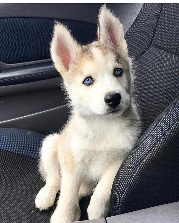 "Siberian Husky (@welove_huskies) on Instagram: "" Thanks for sharing ❤️ Got something to say? ❤️ Agree? ❤️ Then Like! ❤️ Remind you of someone? ❤️…"""