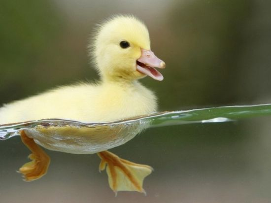 How precious!Paddles, Sweets, Keep Swimming, Baby Ducks, Pets, Yellow, Baby Animals, Baby Ducklings, Birds