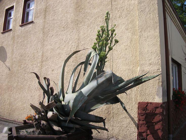 Kaktus który kwitnie tylko raz a później umiera