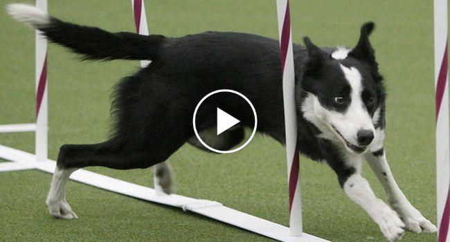 A Velocidade De Um Cão Que Venceu Uma Prova De Agilidade Em Menos De 31 Segundos http://www.funco.biz/velocidade-um-cao-venceu-prova-agilidade-menos-31-segundos/