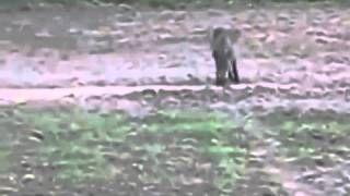 Смотреть онлайн видео Wild boar hunting.  Охота на кабана.