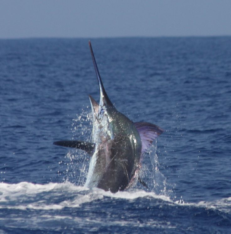 1000 images about old man and the sea on pinterest the for Dolphin deep sea fishing