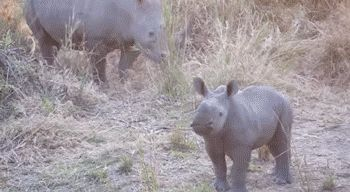 This one practicing its terrifying charge.   23 Baby Rhinos That Will Make You Impossibly Happy