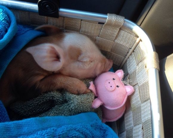cute piglet sleeping with a plush pig toy
