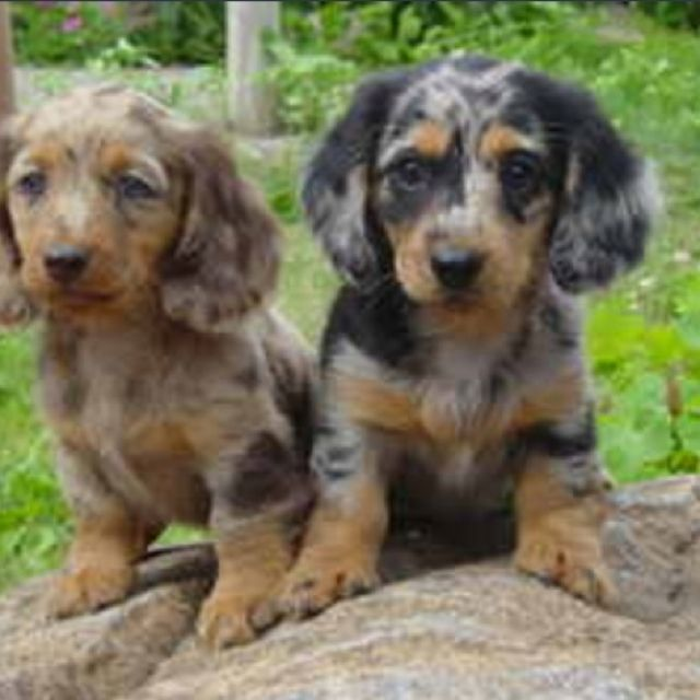 Dapple Dachshund I Must Find One Soon Dachshund Dapple