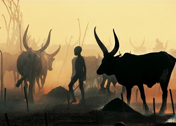 Dinka Boy Leading Black Bull, South Sudan, photo by Angela Fisher & Carol Beckwith    Between November and April every year, the Dinka move their vast herds to dry season cattle camps, to take advantage of the rich grasslands on either side of the River Nile.