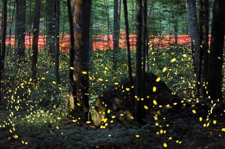 Tennessee, Verenigde Staten, 3 juni. In het Great Smokey Mountains National Park zijn wandelaars met rode zaklampen op pad om het jaarlijkse paringsritueel van vuurvliegjes te aanschouwen. De vliegjes lichten dan twee weken lang op. Deze foto is het resultaat van 123 samengevoegde foto's, in anderhalf uur gemaakt met lange sluitertijd.