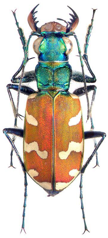 Carabidae:   Cicindela nitida.Cicindela nitida    SE Primorskiy reg., Lazo nature reserve   Perekatnaya river, 20.06.97 leg.   Yu. Sundukov       Male   Body length 17 mm