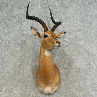 This awesome african impala taxidermy mount is for sale @thetaxidermystore.com