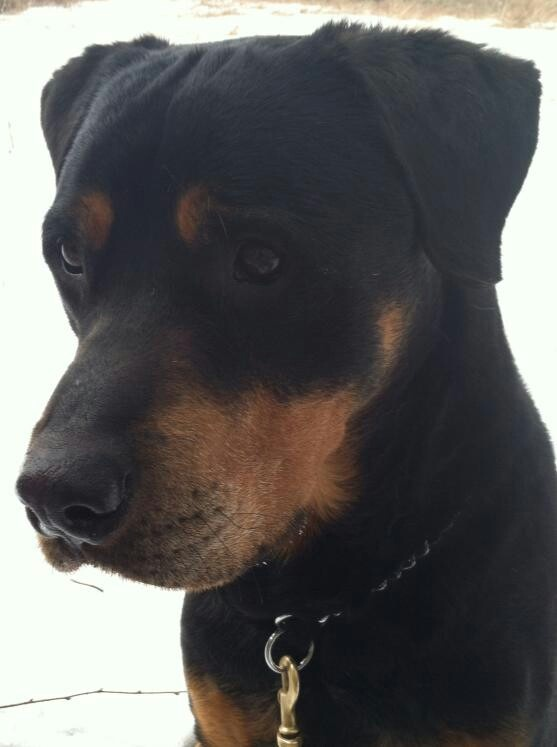 Trey the Rottweiler needs a foster home. Check out his FaceBook page.