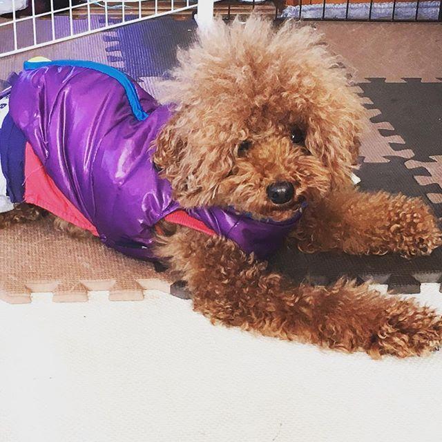 おはよう今日もモッサリハルさんです今日はいい天気だからジャーキー作りがはかどりそうです#toypoodle #poodle#dog #ig_japan #ig_daily #我が子が1番 #可愛い #トイプー #といぷー #トイプードル#ふわもこ部 #わんこ#わんこなしでは生きていけません会 #ハルさん#はる#ハルソック##愛犬#トリミングまであと少し