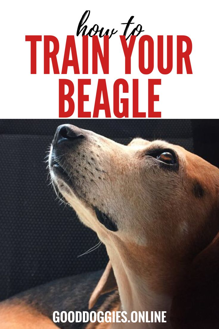 What does a BEAGLE need? Tips and Tricks on how ... - YouTube