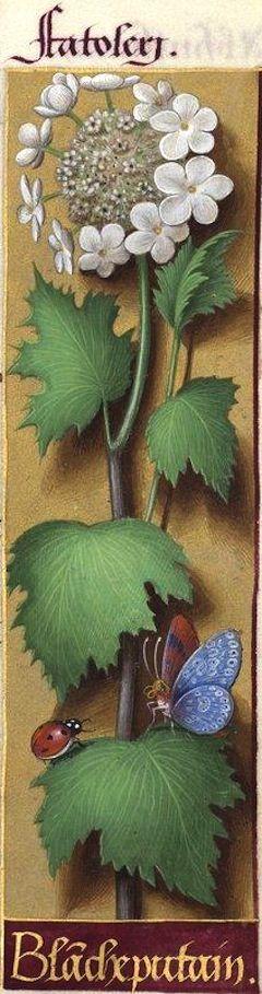 Blanche putain - Fatoleri (l. Catoleri ?) (Viburnum opulus L. = viorne obier) -- Grandes Heures d'Anne de Bretagne, BNF, Ms Latin 9474, 1503-1508, f°101r