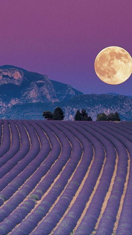 Provençal Moon and Lavender fields ... Le Plateau de Valensole, Alpes-de-Haute-Provence in France.