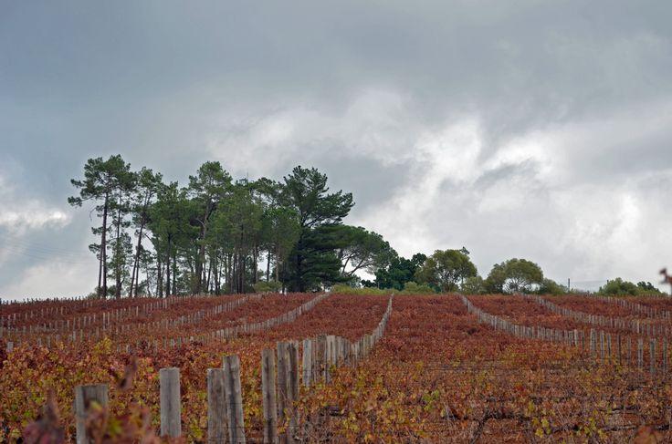Autumn at Vriesenhof Wine Estate behind Paradyskloof suburb in Stellenbosch - Cape Winelands - South Africa  #Vriesenhof #wine #wineestate #Paradyskloof #Stellenbosch #capewinelands