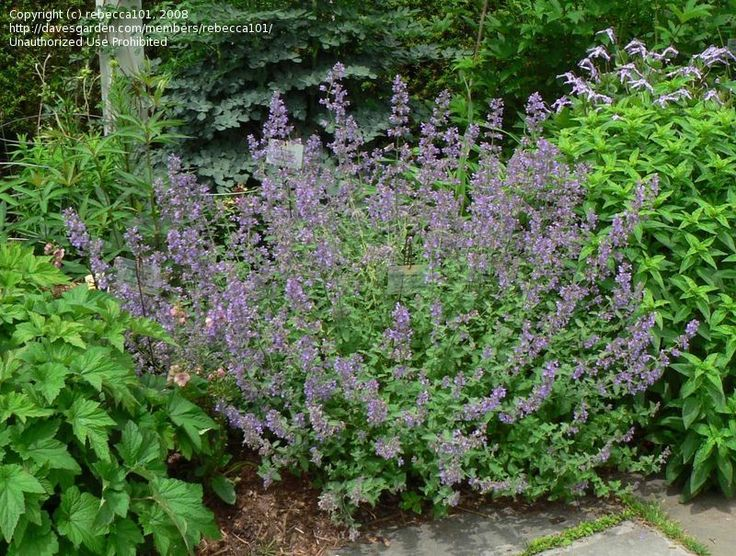full size picture of faassen 39 s catmint ornamental catmint 39 walker 39 s low 39 nepeta x faassenii. Black Bedroom Furniture Sets. Home Design Ideas