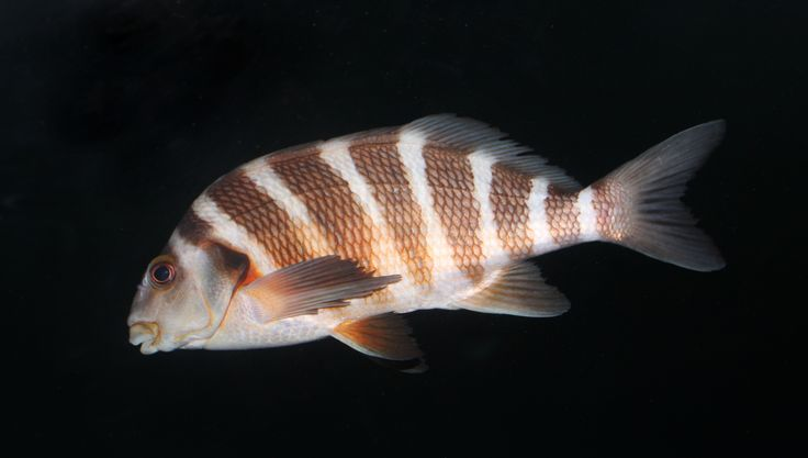 The red moki, a fish that lives in Goat Island.