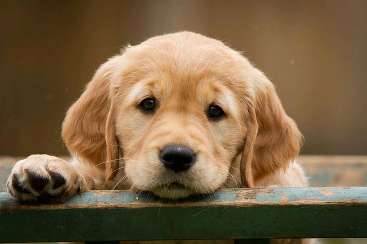 How much does a Golden Retriever Puppy Cost? Click the picture to know.....