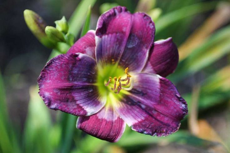 """A close up shot of """"Madelyn D'Ann 2014"""" Daylilies provide a full palette of color and dimension for the garden, and they have few rivals, if any, on that score. If you plant your garden with multiples varieties, you can have all sorts of blooms from early spring to autumn."""