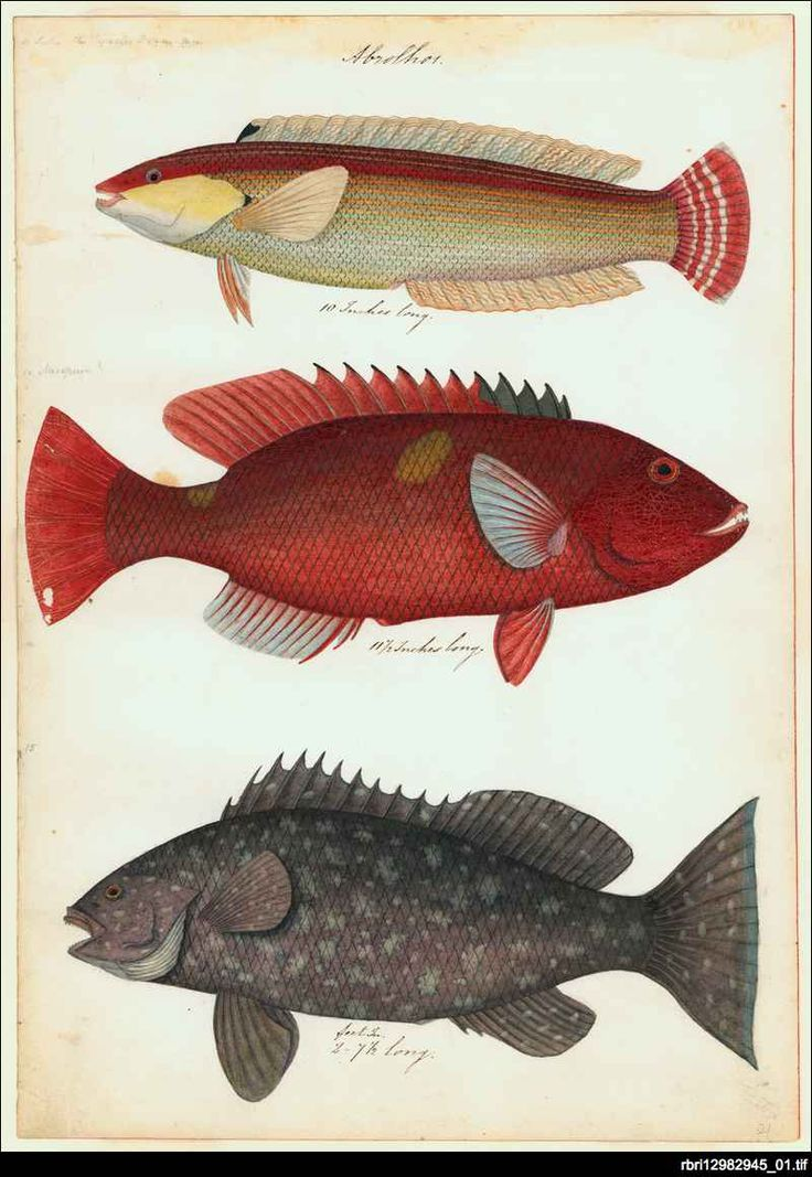 'Abrolhos' one of the plates from 'Watercolours of fish from Australian waters' by James Barker Emery. Emery entered the Royal Navy in 1808 and had a colourful career that included two circumnavigations of the world surveying on the coast of east Africa - including work on the suppression of slavery - and some months as an unsanctioned 'governor' in Mombasa. He joined HMS Beagle in 1837, under Captain Wickham for the survey of the Australian coast.
