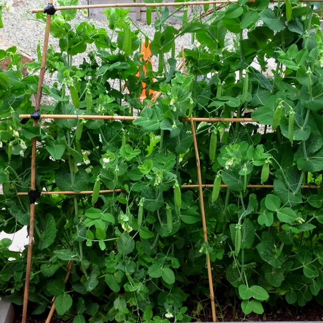 how to support garden peas