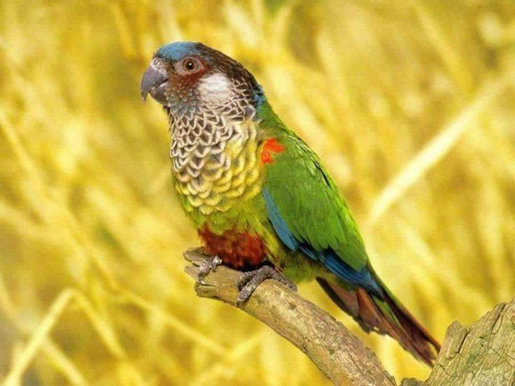 Parrot: 1400X1050 Wallpapersparrot, Colors Parrots, Animal Stuff, Wallpapersparrot 1400X1050, Parrotlet Wallpapers, Beautiful Parrots, Beautiful Birds, Paintings Conure, Minis Parrots