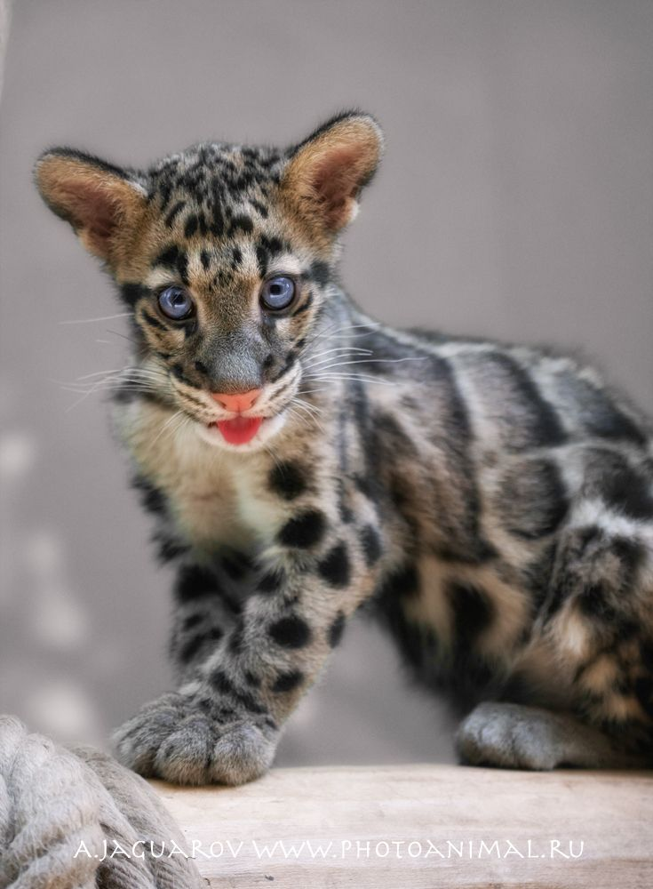 Baby Clouded Leopard In The Wild