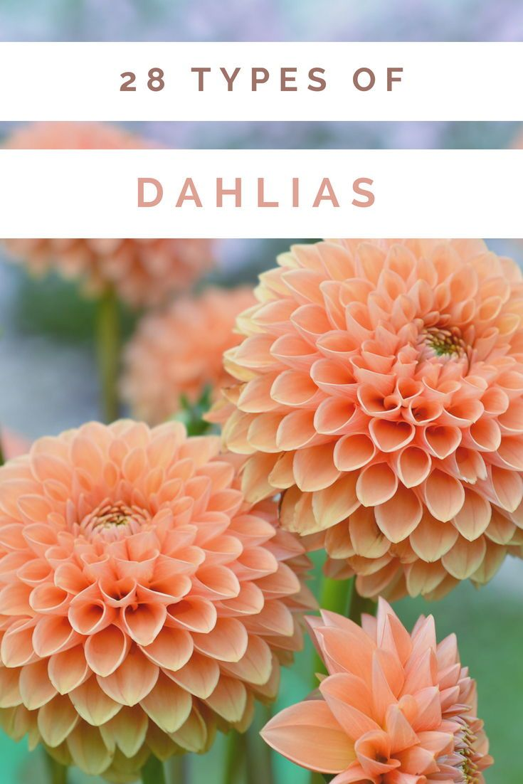 53 Different Types Of Dahlias For Your Garden Fall Flowers