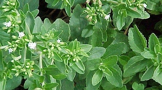 Стевия - сахарное растение