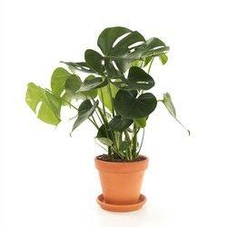 <p>De Monstera komt oorspronkelijk uit de tropische gebieden van Midden-Amerika. Een super trendy plant die ook nog eens heel gezond is. Met zijn grote groene bladeren zuivert hij namelijk de lucht. Deze fijne eigenschap zorgt voor een gezonder binnenklimaat, daar wordt iedereen vrolijk van! In de mode- en kunstwereld is de Monstera tegenwoordig een grote inspiratiebron. Op veel plekken zie je monsterablad als patroon terugkomen. Met deze hippe plant geef je je huis een trendy boost!<...