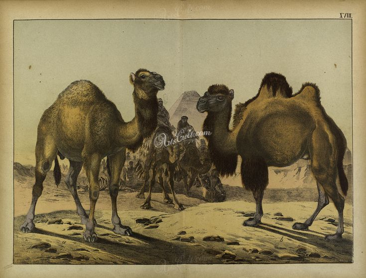 mammals-05042 Dromedary, Bactrian Camel or Wild Bactrian Camel ArtsCult.com Artscult ArtsCult vintage printable public domain 300 dpi commercial use 1800s 1700s 1900s Victorian Edwardian art clipart royalty free digital download picture collection pack paintings scan high qulity illustration old books pages supplies collage wall decoration ornaments Graphic engravings lithographs century 18th 17th Pictorial fabric transfer scrapbooki
