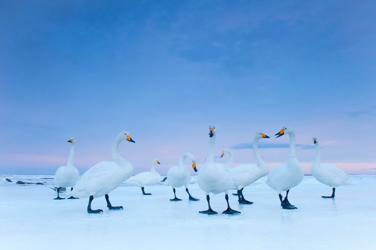 29 January 2010 Hokkaido, Japan Whooper swans settle down for the night on a frozen stretch of Notsuke Bay.