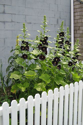 I LOVE black hollyhocks (and black pansies, and black tulips, and black irises, and.....)