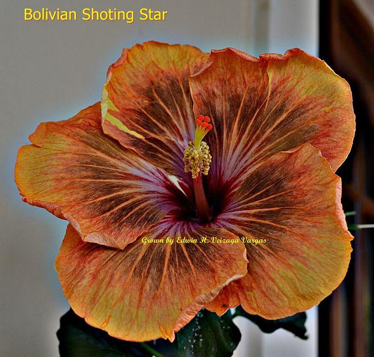 Bolivian Shoting Star