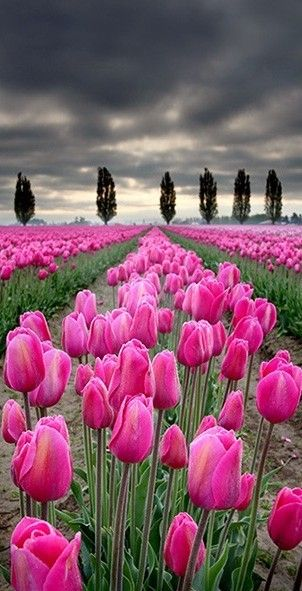 Tulip field in the Skagit Valley of Washington • photo: Rkival on Flickr