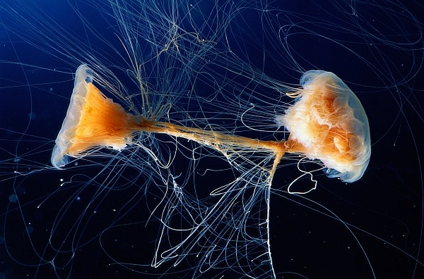 Watch for the tangled webs of the Lion Mane's Jellyfish!
