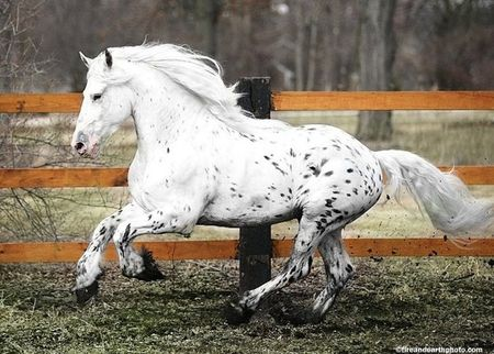 Friesian/Appaloosa Crossbreed - spotted, crossbreed, horses, leopard, appaloosa, friesian
