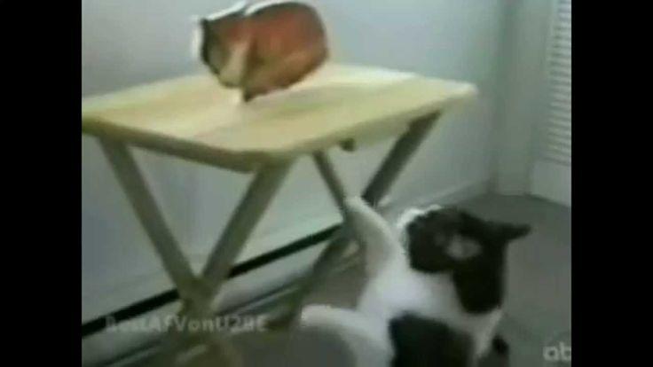 14 Tingkah Kucing lucu bikin ngakak yang dapat mengocok perut kita. kucing adalah binatang yang sangat lucu serta menggemaskan. banyak orang yang memelihara