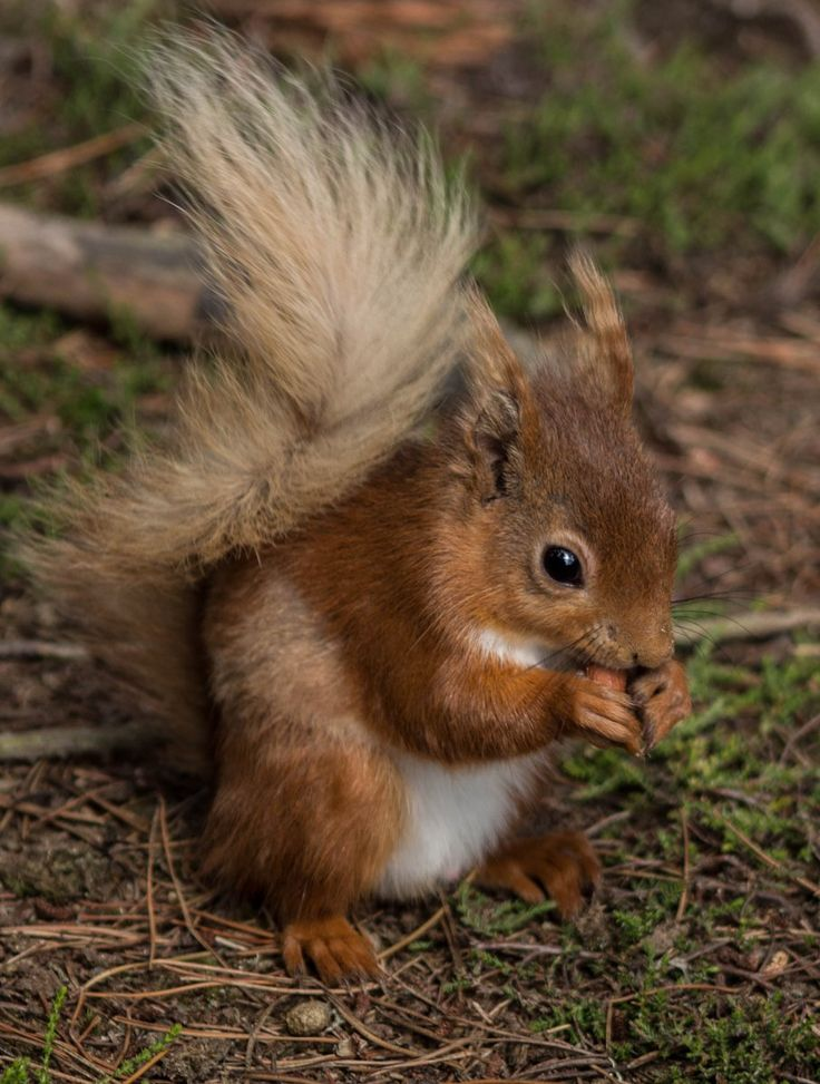 Red Squirrel by Simon C Woodley