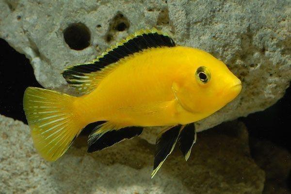 Electric Yellow Cichlid Labido Jaune Labidochromis Caeruleus Cichlid Fish African Cichlids Cichlids