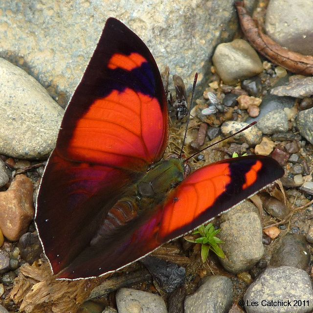 Butterfly (Fountainea ryphea)