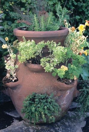 Herbs in a strawberry pot.