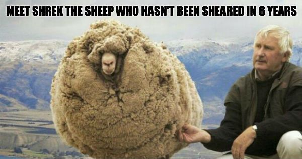 shrek the sheep story | Meet Shrek the sheep who hasn't been sheared in 6 years