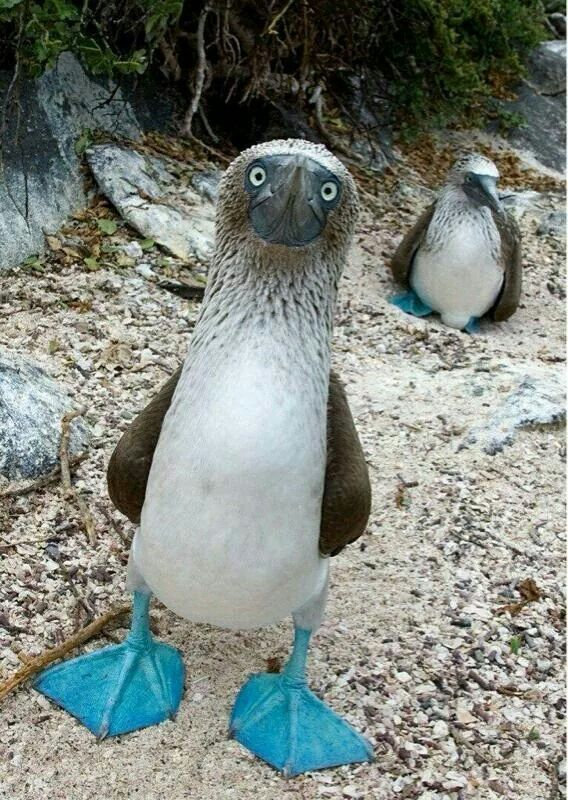Blue footed Boobie! Yep it's a REAL Bird!