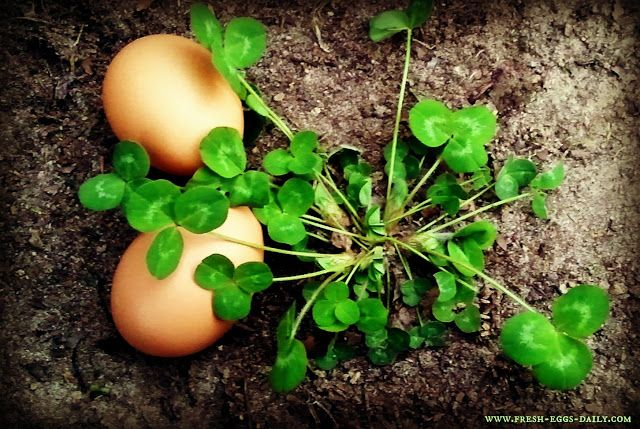 Fresh Eggs Daily®: The Down and Dirty on Feeding Clover to your Chickens: Fresh Eggs Daily, Chicken Coops, Dirty, Gardens, Backyard, Blood Thinner, Raised Chicken, Chicken Graze, Feeding Clovers