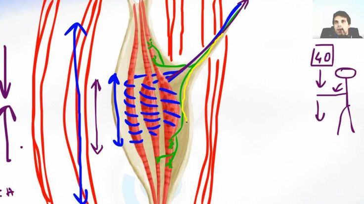 The Stretch Reflex Of Muscle Spindle