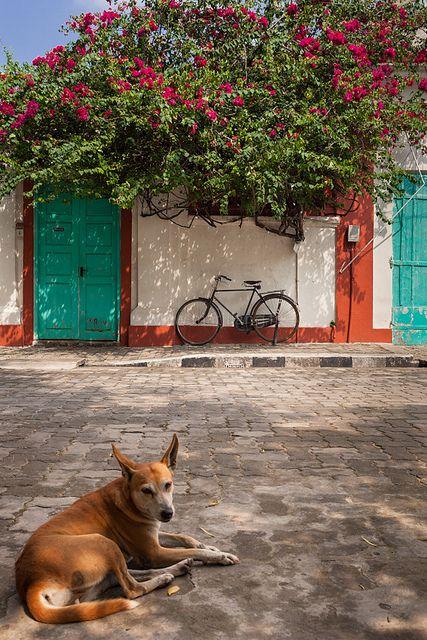 Bougainvillea, Pondicherry, India via Flickr.